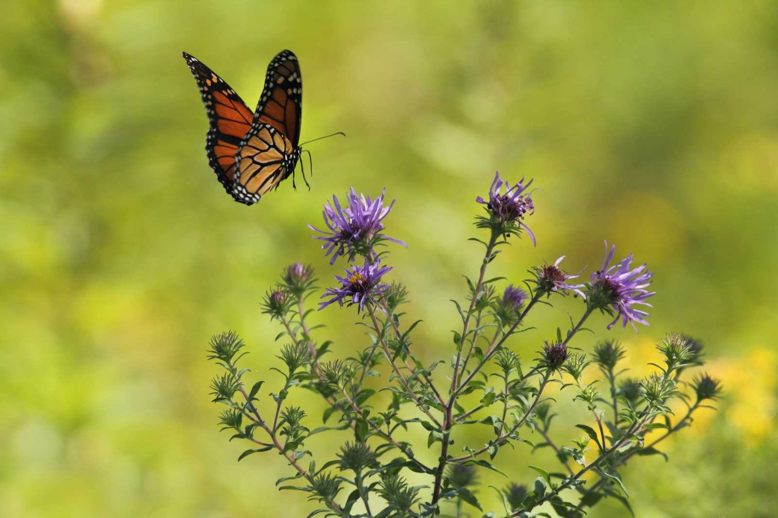 monarch butterfly and thistle