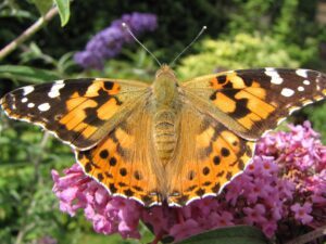 painted-lady-butterfly-97568952-5c3ea99bc9e77c0001a81145