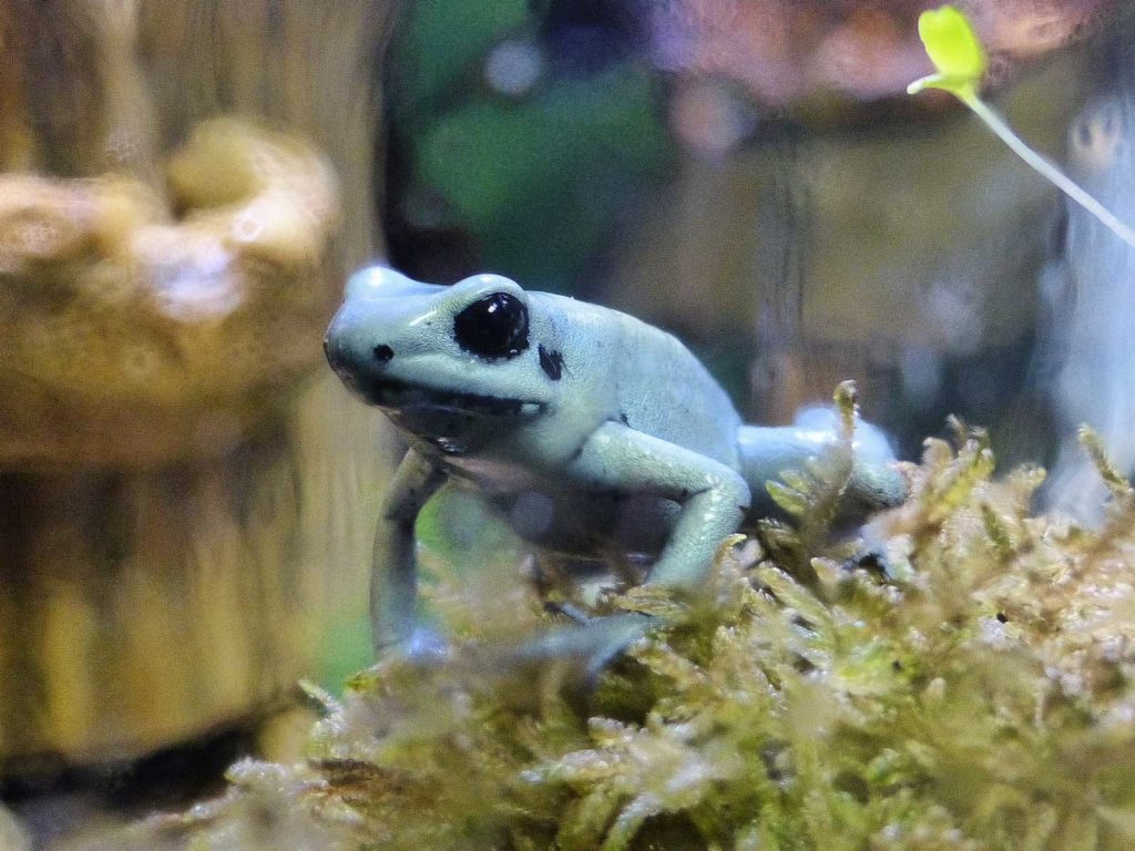poison dart frog in the Poconos